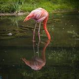 розовое фламенко ища еда Стоковая Фотография