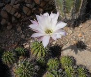 Розовое цветене кактуса Стоковое фото RF
