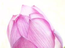 Розовое цветене лотоса достигает для солнца стоковая фотография