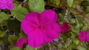 Розовое цветене нетерпения Стоковые Изображения RF