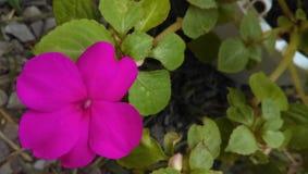 Розовое цветене нетерпения Стоковая Фотография
