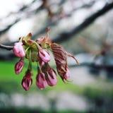 Розовое цветене Сакуры рокируйте cesky весну сезона krumlov наследия для того чтобы осмотреть мир фото тонизировало Стоковые Изображения RF