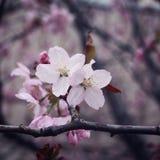 Розовое цветене Сакуры рокируйте cesky весну сезона krumlov наследия для того чтобы осмотреть мир фото тонизировало Стоковое Изображение RF