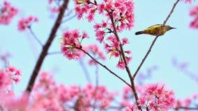Розовое цветене Сакуры с птицей Стоковая Фотография RF