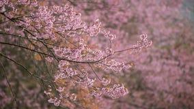 Розовое цветене Сакуры Стоковые Фотографии RF