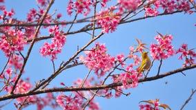 Розовое цветене Сакуры Стоковое Изображение