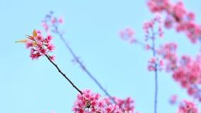 Розовое цветене Сакуры Стоковое Изображение RF