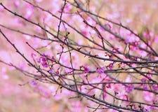 Розовое цветене Сакуры Стоковые Изображения RF