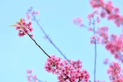 Розовое цветене Сакуры Стоковые Изображения