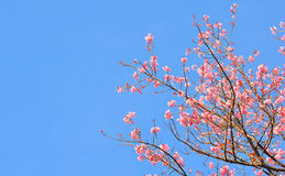 Розовое цветене Сакуры Стоковая Фотография RF
