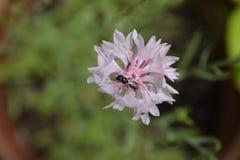 Розовое цветене цветка кнопки ` s холостяка Стоковое фото RF