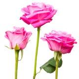 Розовое цветене Стоковые Изображения RF