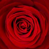 Розовое цветене Стоковое Изображение