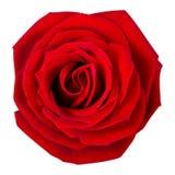 Розовое цветене Стоковые Изображения