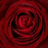 Розовое цветене стоковое изображение rf