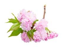 Розовое цветение вишни Стоковое Изображение RF