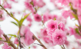 Розовое цветение вишни Стоковые Фото