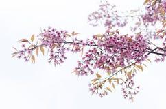 Розовое цветение вишни Стоковые Фотографии RF
