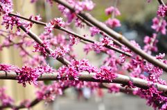 Розовое цветение вишни стоковое фото