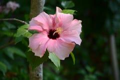 Розовое цветение гибискуса в солнечном свете Стоковые Изображения RF