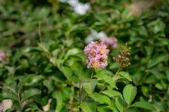 Розовое цветение дерева на дереве с цветками стоковые изображения rf