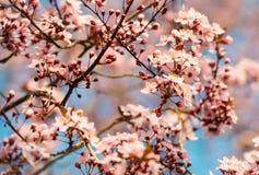 Розовое цветение дерева Сакуры в солнечном свете с мягким фокусом Стоковые Фотографии RF