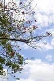Розовое цветение и небо ясности голубое Стоковая Фотография