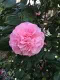 Розовое цветение камелии Стоковая Фотография RF
