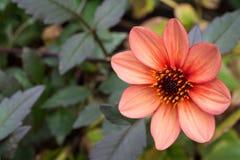 Розовое цветение красивого цветка маргаритки стоковое фото rf