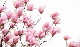 Розовое цветение магнолии на белой предпосылке Стоковая Фотография RF