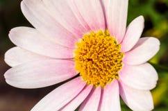 Розовое цветение на темной ой-зелен предпосылке Стоковое Изображение RF