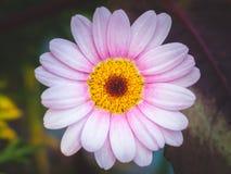 Розовое цветение на темной предпосылке Стоковое Фото