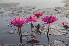 Розовое цветение лотоса Стоковая Фотография