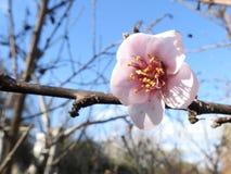 Розовое цветение персика в осени стоковое изображение rf