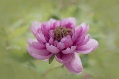 Розовое цветение пиона Стоковые Фотографии RF