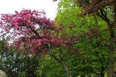 Розовое цветение Сакуры стоковые фото