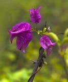 Розовое цветение цветка бугинвилии в Азии Таиланде Стоковое фото RF
