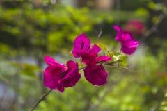 Розовое цветение цветка бугинвилии в Азии Стоковые Фотографии RF