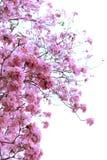 Розовое цветение цветка дерева трубы стоковые фотографии rf