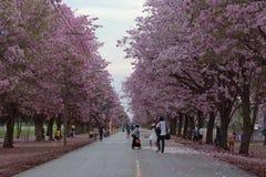 Розовое цветение цветка дерева трубы Стоковое фото RF