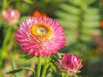 Розовое цветение цветка на солнечный день Стоковые Изображения RF