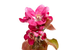 Розовое цветение яблока на белизне Стоковые Фотографии RF