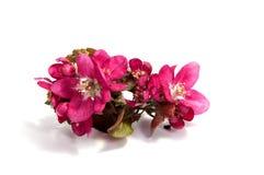 Розовое цветение яблока на белизне Стоковая Фотография RF