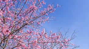 Розовое цветение Стоковое Изображение RF