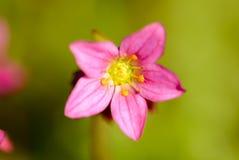 Розовое цветение Стоковые Изображения
