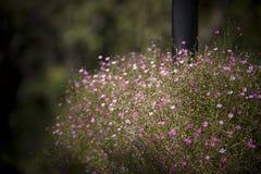 Розовое цветение Стоковое фото RF