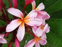 Розовое цветение Frangipani Стоковое фото RF