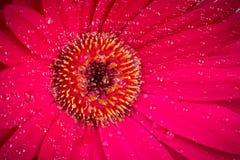 Розовое цветение gerbera Стоковые Изображения RF
