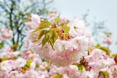 Розовое цветорасположение вишни с концом-вверх падений дождя цветков  стоковые фото