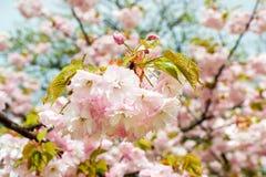 Розовое цветорасположение вишни с концом-вверх падений дождя цветков  стоковая фотография rf
